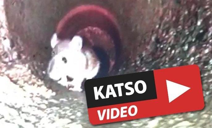 hiiri viemärissä